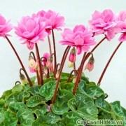 Hoa anh thảo đẹp cả hóa lẫn lá