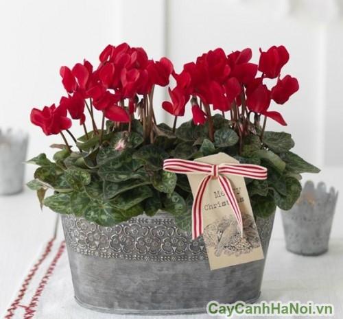 Hoa anh thảo là món quà tặng lý tưởng