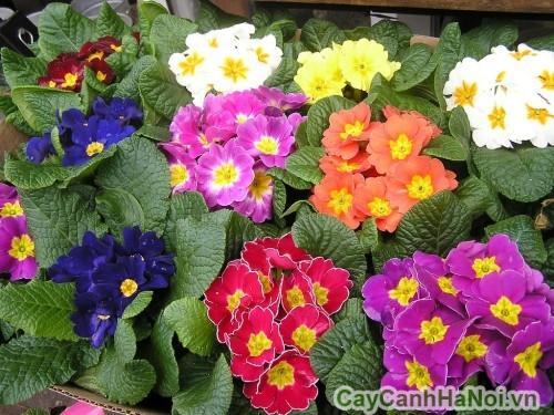 Hoa anh thảo có nhiều màu sắc rực rỡ