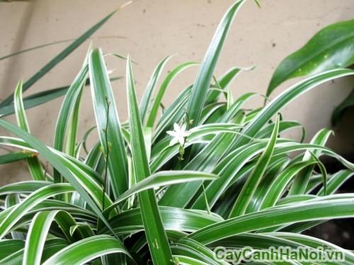 Hoa của cây lan chi