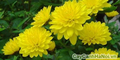 Hoa cúc Đà Lạt vàng