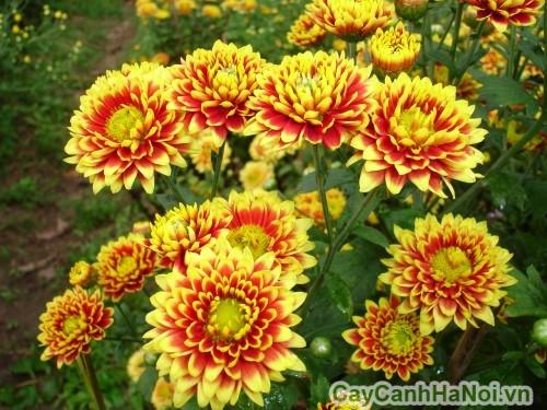 Hoa cúc Đà Lạt có nhiều lựa chọn về màu sắc