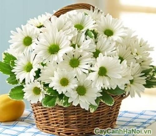 Hoa cú Đà Lạt để bàn