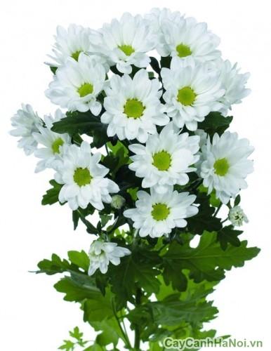 Hoa cúc Đà Lạt trắng