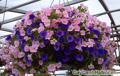 Những bông hoa dạ yến thảo