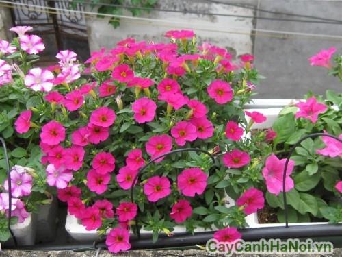 Hoa dạ yến thảo màu hồng