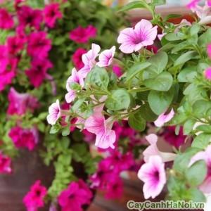 Hoa dạ yến thảo tô điểm không gian