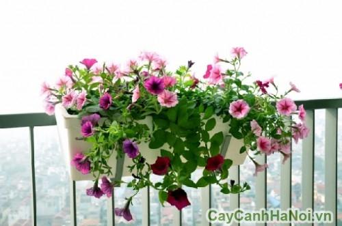 Hoa dạ yến thảo bên ban công