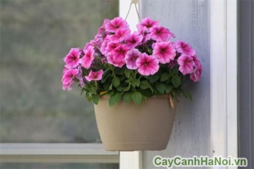 Giỏ treo hoa dạ yến thảo bên cửa sổ