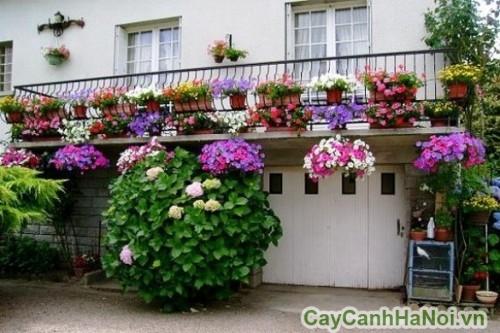 Hoa dạ yến thảo có nhiều màu sắc