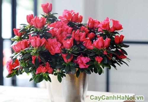 Hoa đỗ quyên có vẻ đẹp dịu dàng