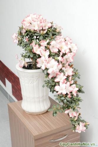 Không gian thêm tinh tế với chậu hoa đỗ quyên