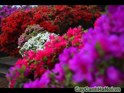 Hoa đỗ quyên có nhiều màu sắc