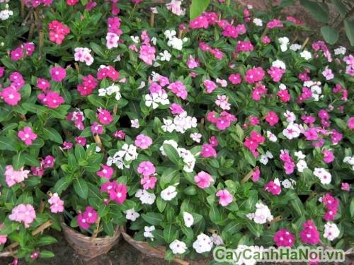 Hoa dừa cạn là loại hoa hứng nắng