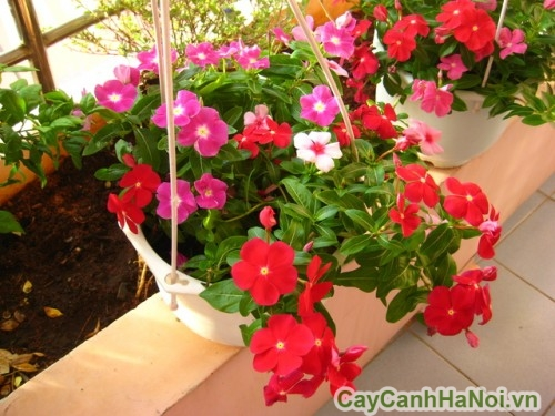 Hoa dừa cạn trồng trong giỏ treo