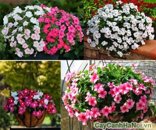 Hoa dừa cạn có nhiều màu sắc
