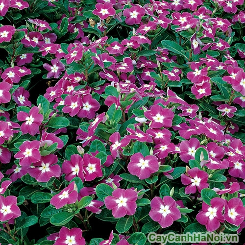 Hoa dừa cạn tím