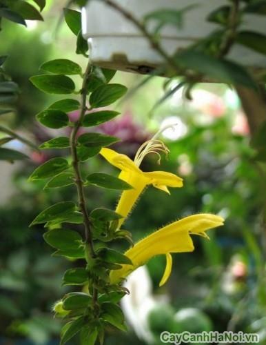 Hoa son môi vàng