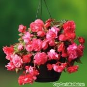 Vẻ đẹp hoa thu hải đường