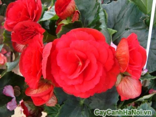 Chi tiết hoa thu hải đường đỏ