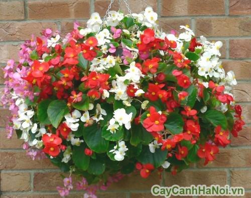 Hoa thu hải đường có nhiều màu sắc