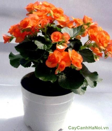 Hoa thu hải đường cam