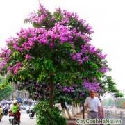 Cây bằng lăng cho bóng mát và hoa đẹp