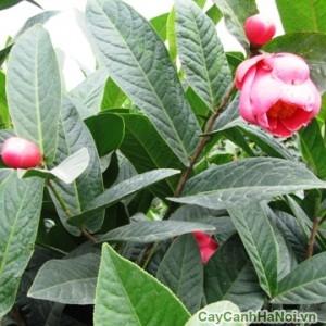 Hoa và lá cây hải đường