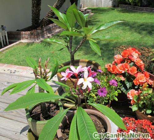 Cây hoa đại trồng trong chậu
