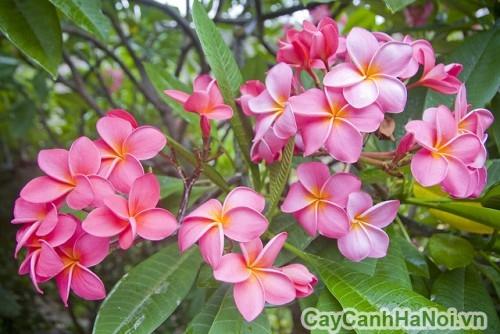 Cay hoa đại màu tím