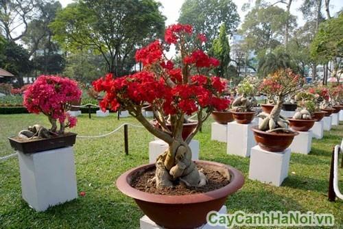 Cây hoa sứ đa dạng về chủng loại và màu sắc