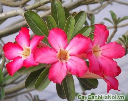 Chi tiết bông hoa sứ