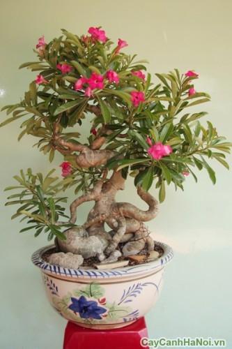 Cây hoa sứ - Nguyên liệu bonsai lý tưởng