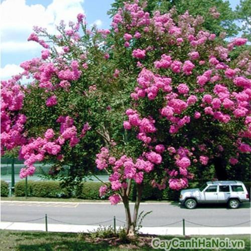 Cây hoa tường vi trồng cảnh quan