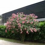 Cây hoa tường vi trồng làm cảnh