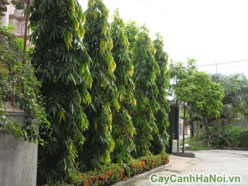 Cây hoàng nam trồng thành hàng rào