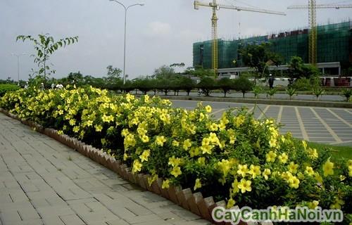 Cây huỳnh anh trồng trong đô thị