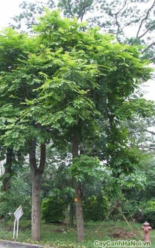 Cây lát hoa thuộc loại thân gỗ