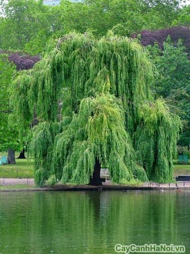 Cây liễu trồng bên hồ