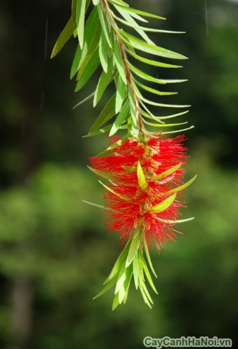 Hoa của cây liễu