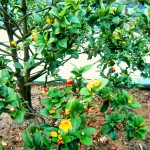 Cây mai tứ quý cho hoa gần như quanh năm