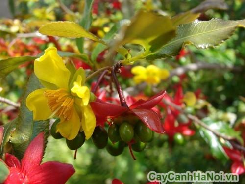 Hoa mai tứ quý có màu vàng, khi rụng để lại đài hoa màu đỏ