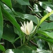 Hoa ngọc lan có màu trắng hoặc vàng