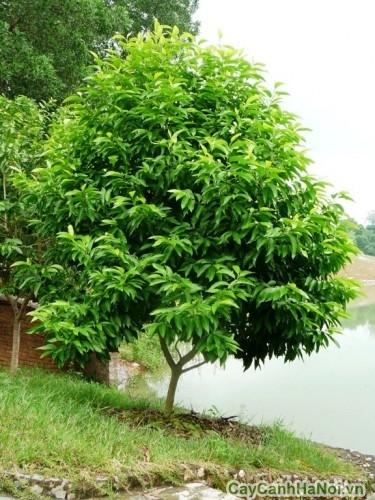 Cây ngọc lan trồng trong vườn