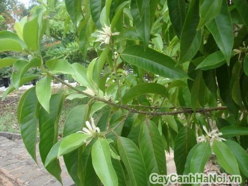 Tán lá cây ngọc lan