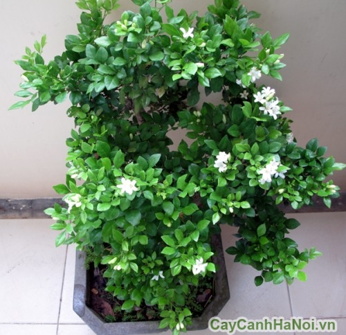 Cây nguyệt quế trồng chậu làm cảnh