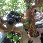 Quả cây nho thân gỗ khi non màu xanh, chín chuyển màu tím