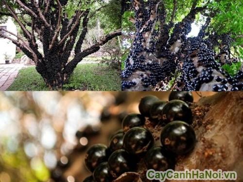 Cây nho thân gỗ cho quả từ thân cây