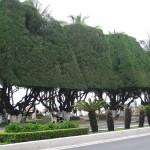 Cây phi lao được tạo dáng trồng trong đô thị