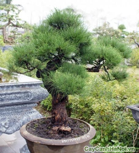 Cây phi lao tạo dáng bonsai